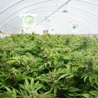 Cannabis Commercial Growing
