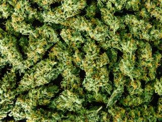 Maximizing Quality Cannabis